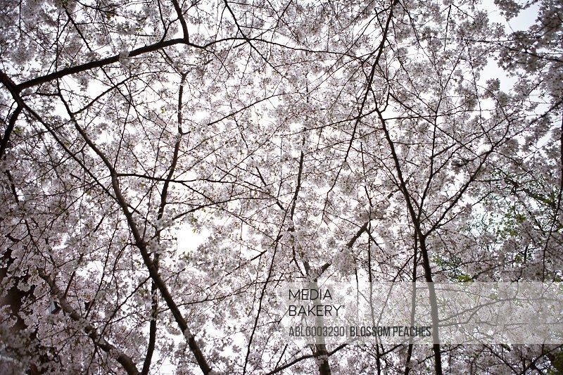 Cherry Blossom, Full Frame