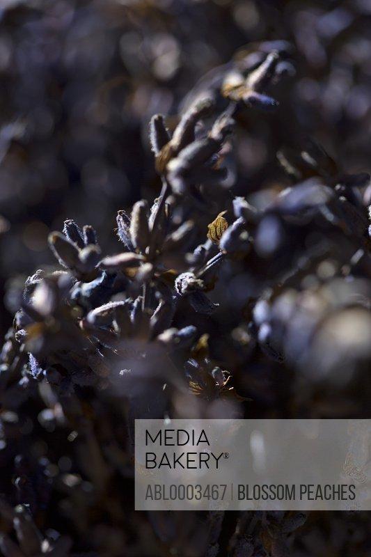 Blue Buds Blossom, Close-up View