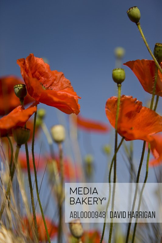 Red poppy flowers and buds - Papaver rhoeas