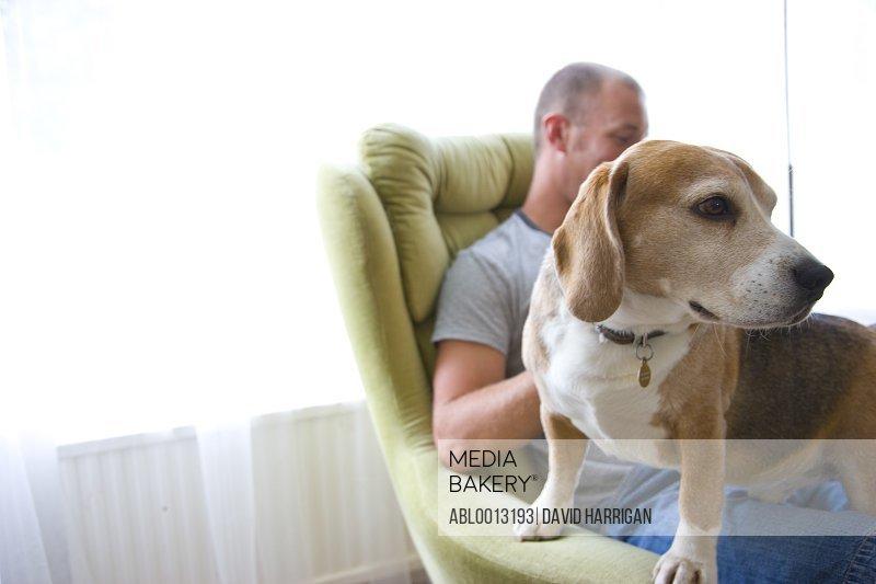 Beagle Dog Standing on Man Lap