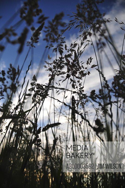 Wild Grass against Blue Sky