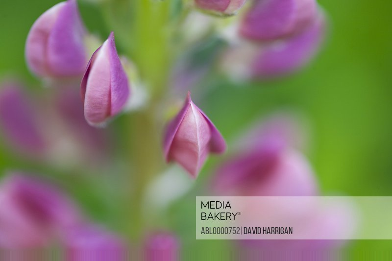 Pink lupin blossom