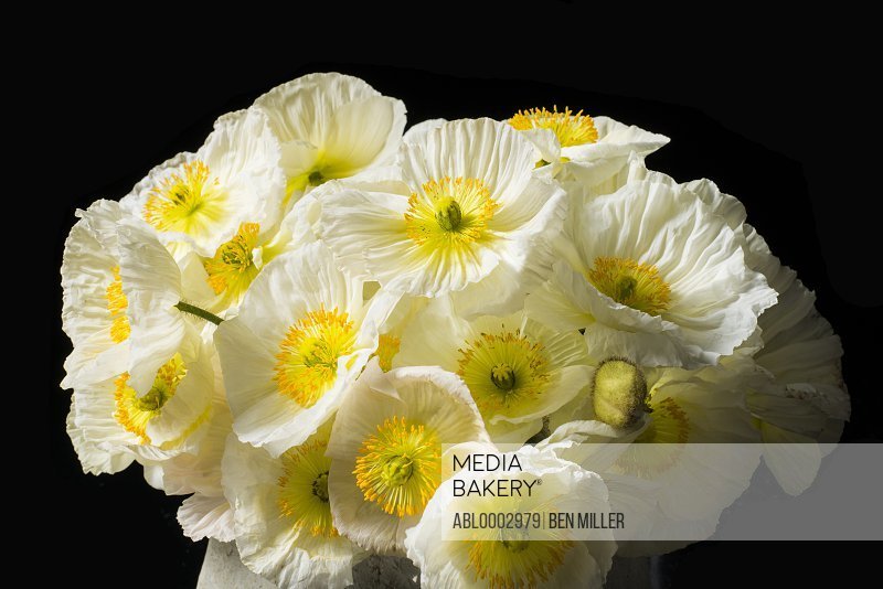 Close up of Bouquet of White Poppies