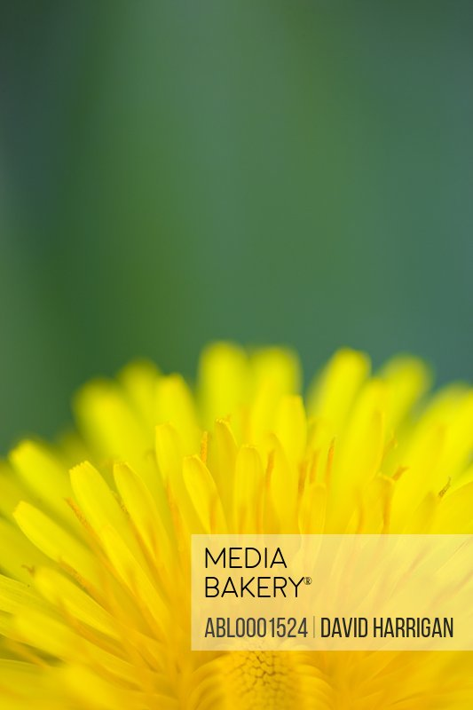 Extreme close up of a yellow dandelion flower - Taraxacum
