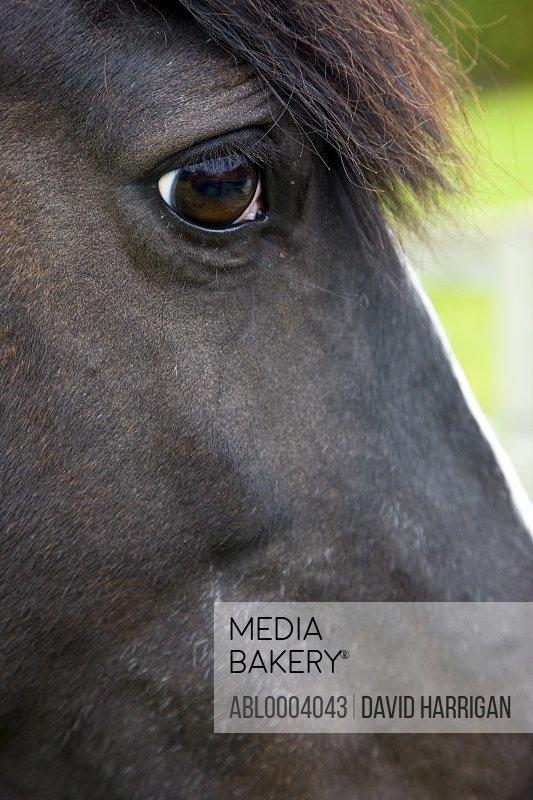 Close up of  a horse head - Equus caballus