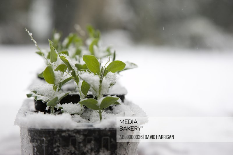 Seedling pots covered in snow