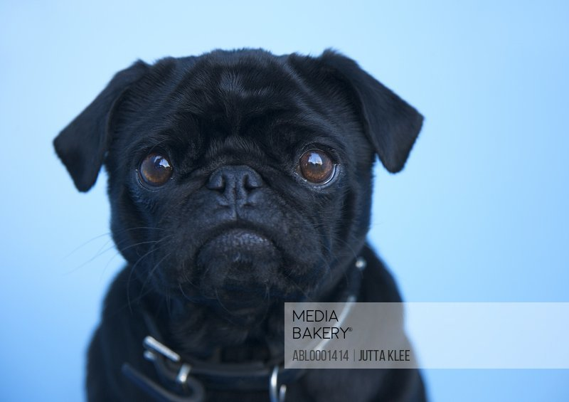 Close up of a black pug