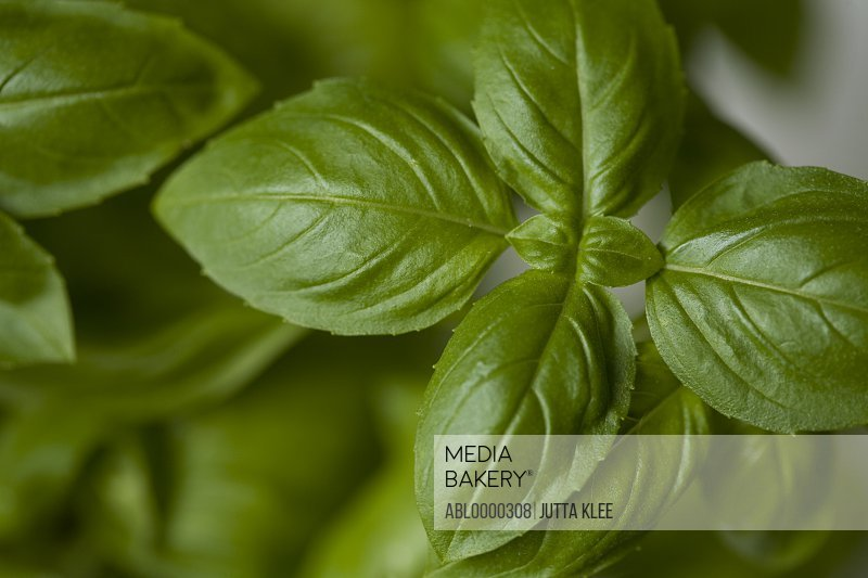 Extreme close up of basil leaves (Ocimum basilicum)