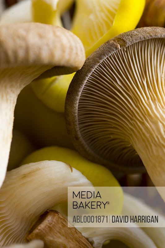 Extreme close up of yellow oyster and grey oyster mushrooms