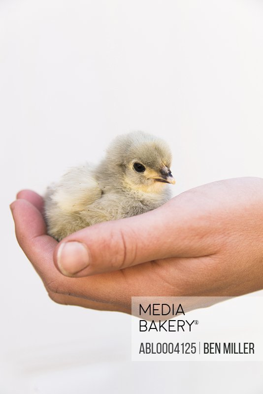 Baby Chick Held in Hand