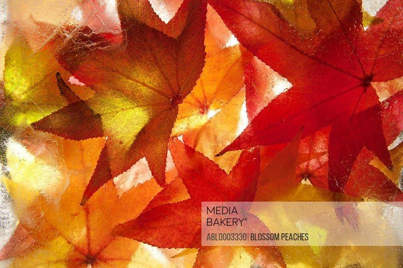 Autumn Leaves Frozen in Water, Full Frame