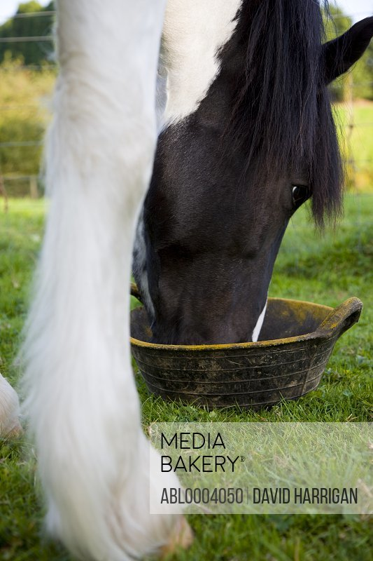 Close up of a horse eating from a bowl in a field