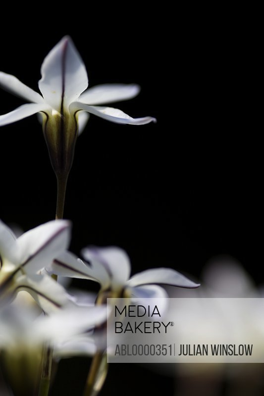 Spring starflower  Ipheion uniflorum