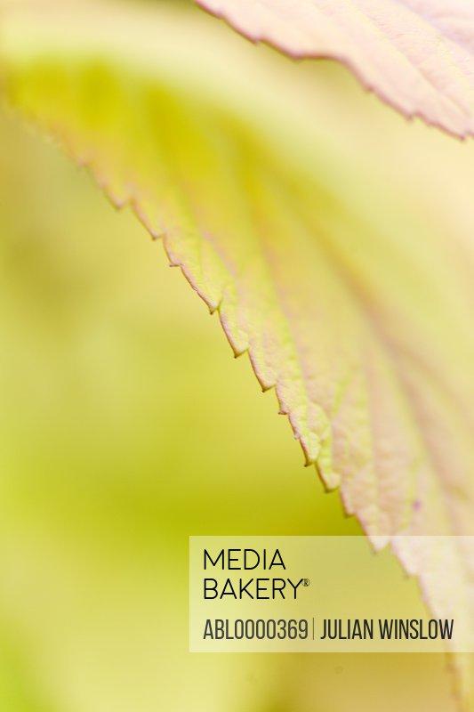 Spiraea Japonica leaf