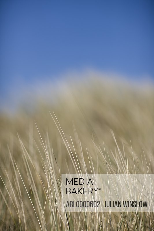 Close up of meadow grass  and blue sky (poaceae)