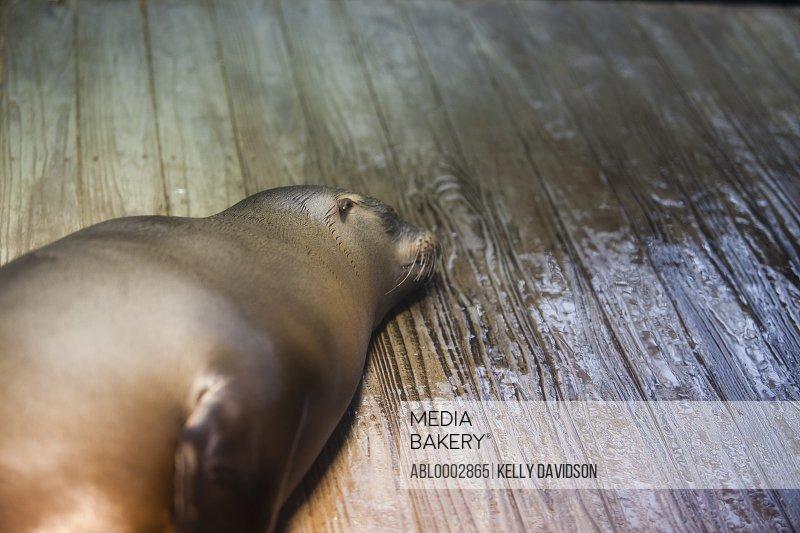 Seal Lying on Wet Wood Floor