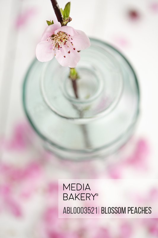 Vase of Pink Cherry Blossom, Close-up View