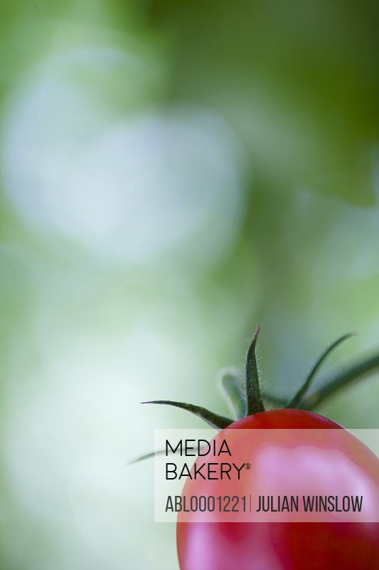 Extreme close up of a tomato on the vine