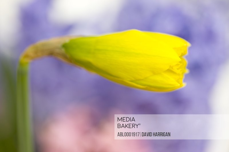 Extreme close up of a daffodil bud, Narcissus pseudonarcissus