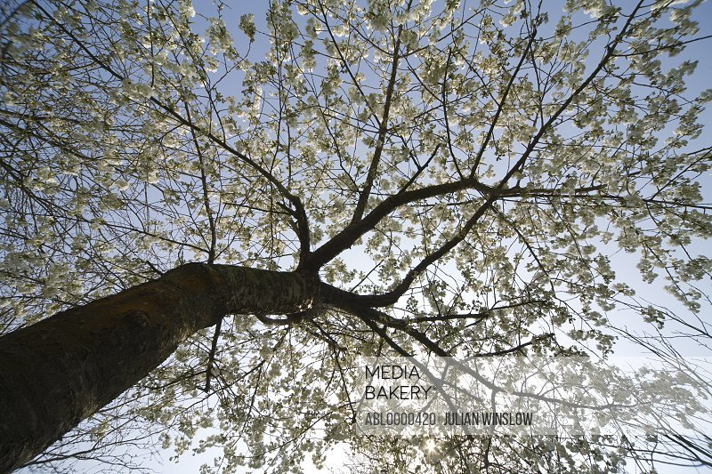 Tall cherry tree with white flower blossom