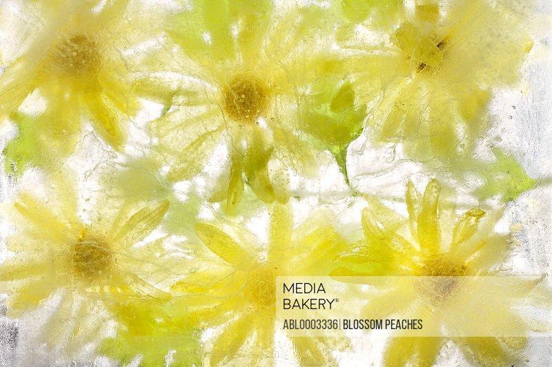 Yellow Flowers Frozen in Water, Full Frame