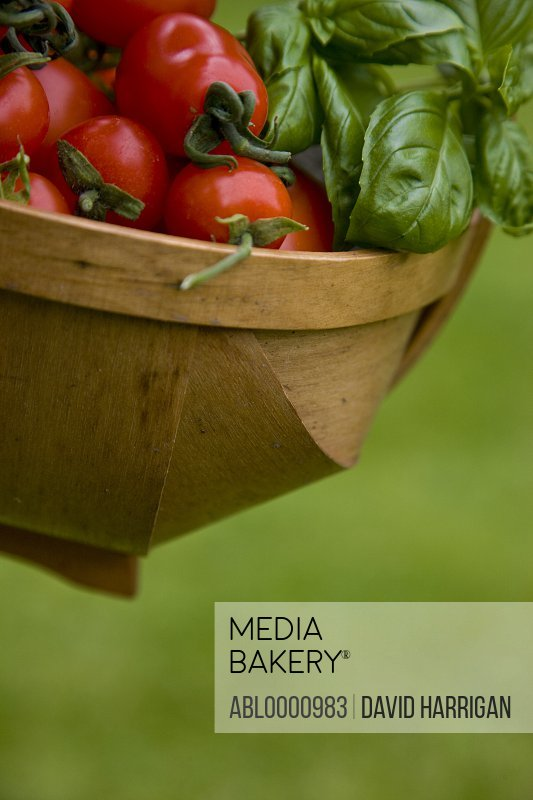 Close up of hand picked cherry tomatoes and basil leaves in a basket