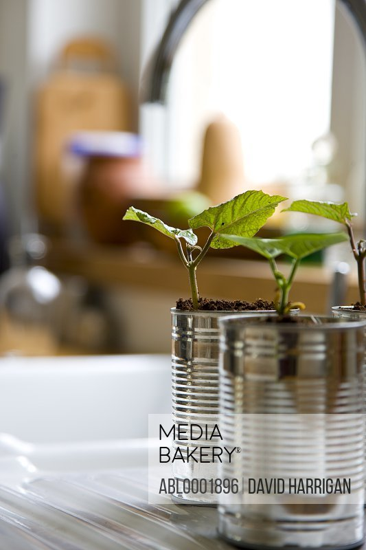 Recyclable tin cans with bean seedlings