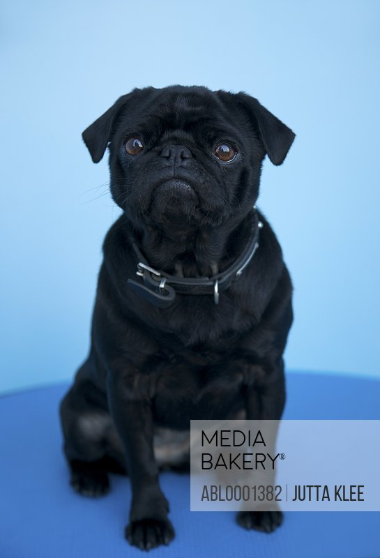 Portrait of a black pug sitting