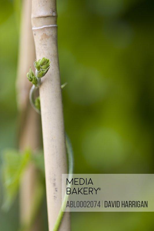 Plant Climbing on Cane