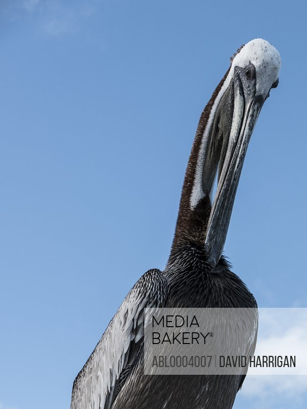 Close up of a Brown Pelican
