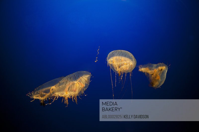 Gold Jellyfish against Blue Background