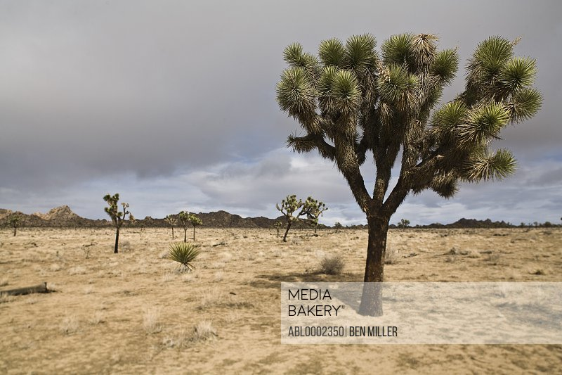 Desert Landscape and Joshua Tree