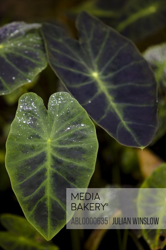 Close up of Alocasia leaves