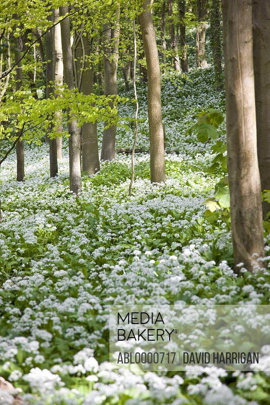 White flowers in a coppice