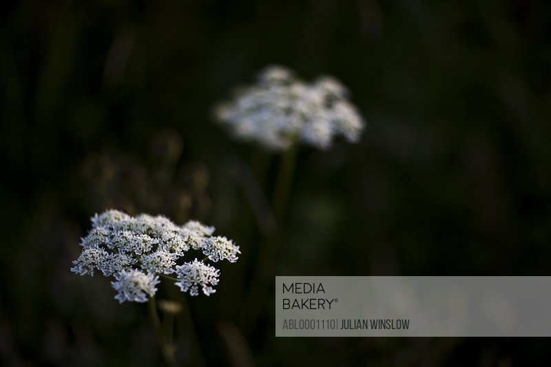 White hogweed flowers - Heracleum