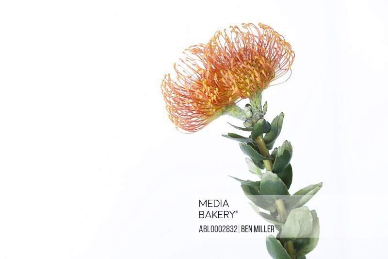 Orange Pincushion Protea Flower