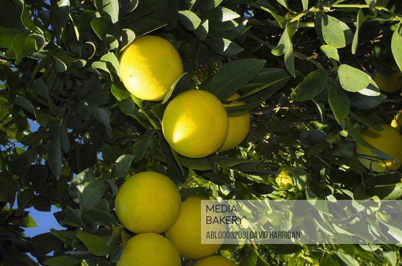 Ripe Grapefruit on Tree