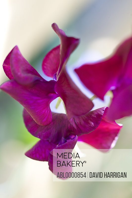 Dark pink stock flower - Matthiola