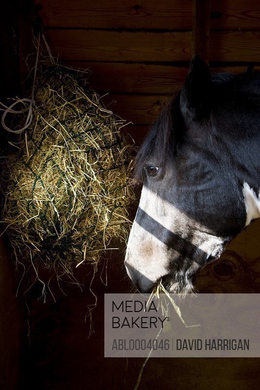Close up of a horse head eating hay from a net bag
