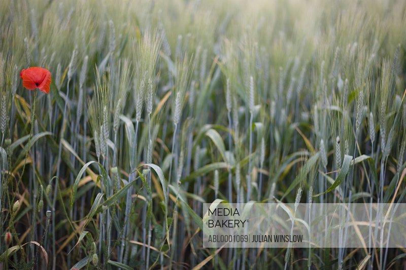 Close up of young green wheat stalks and a red poppy flower
