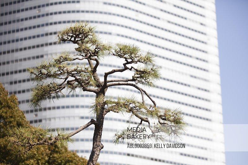 Conifer Tree against Building