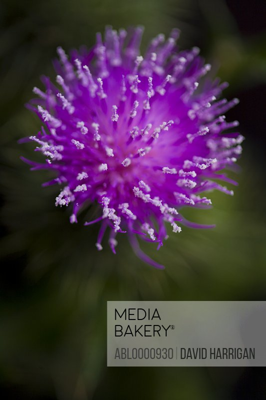 Close up of a bright pink thistle - Silybum