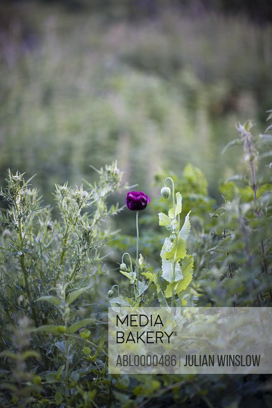 Deep purple poppy flower in field