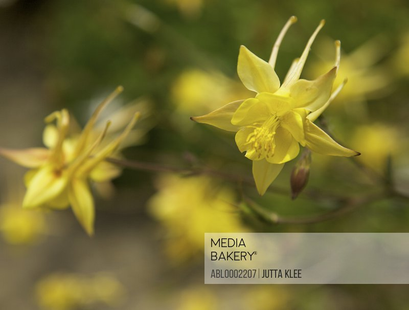 Yellow Aquilegia Flower - Close-up view