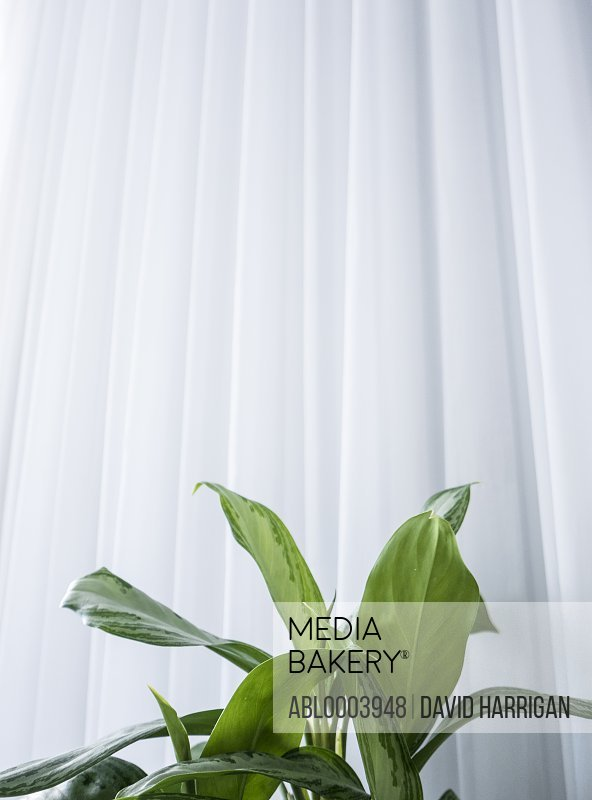 House Plant Leaves and White Curtain