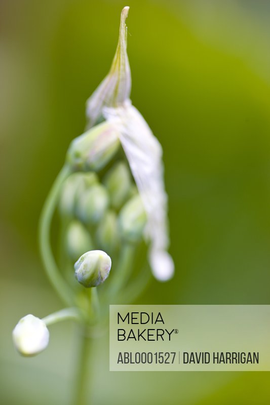 Close up of wild garlic buds - Allium