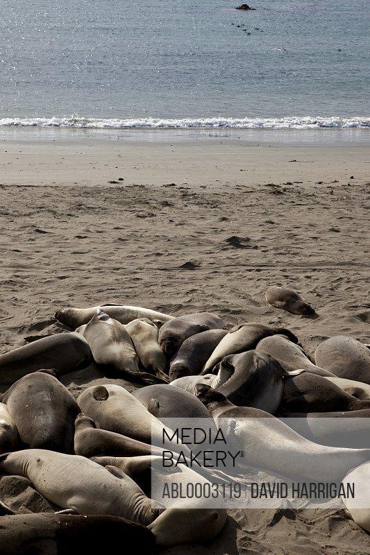 Group of California Sea Lions Basking on Beach