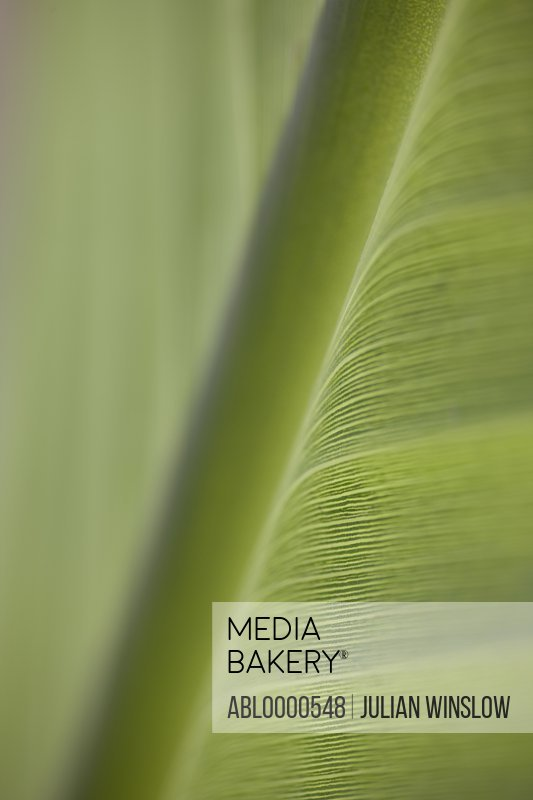 Extreme close up of banana leaf (genus Musa)