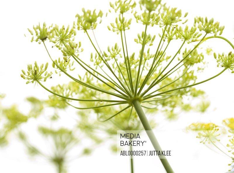 Close up of fennel flower       Foeniculum vulgare
