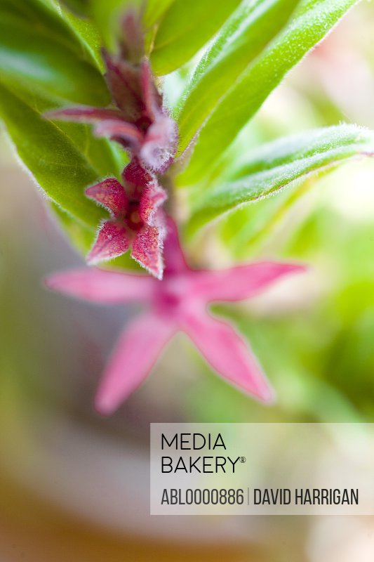 Flying goldfish plant with bright pink flower- Columnea
